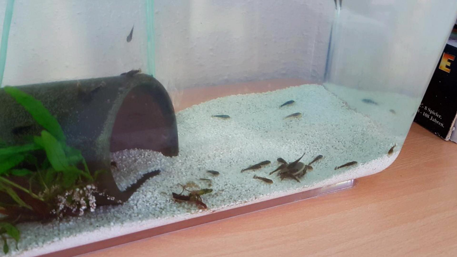 Wir ziehen unseren Nachwuchs in einem separaten Aquarium auf, damit unsere Buntbarsche sie nicht auffressen.
