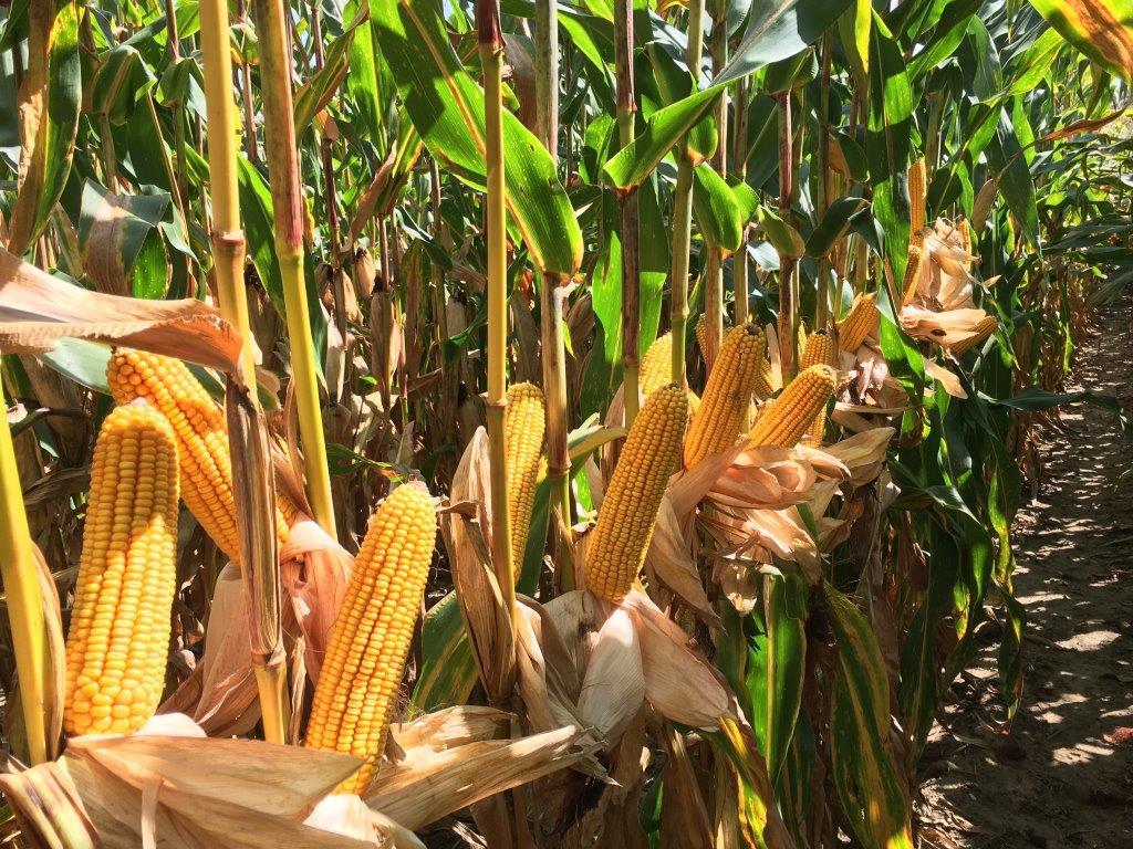 Eastern_Iowa_Corn_Crop.jpg