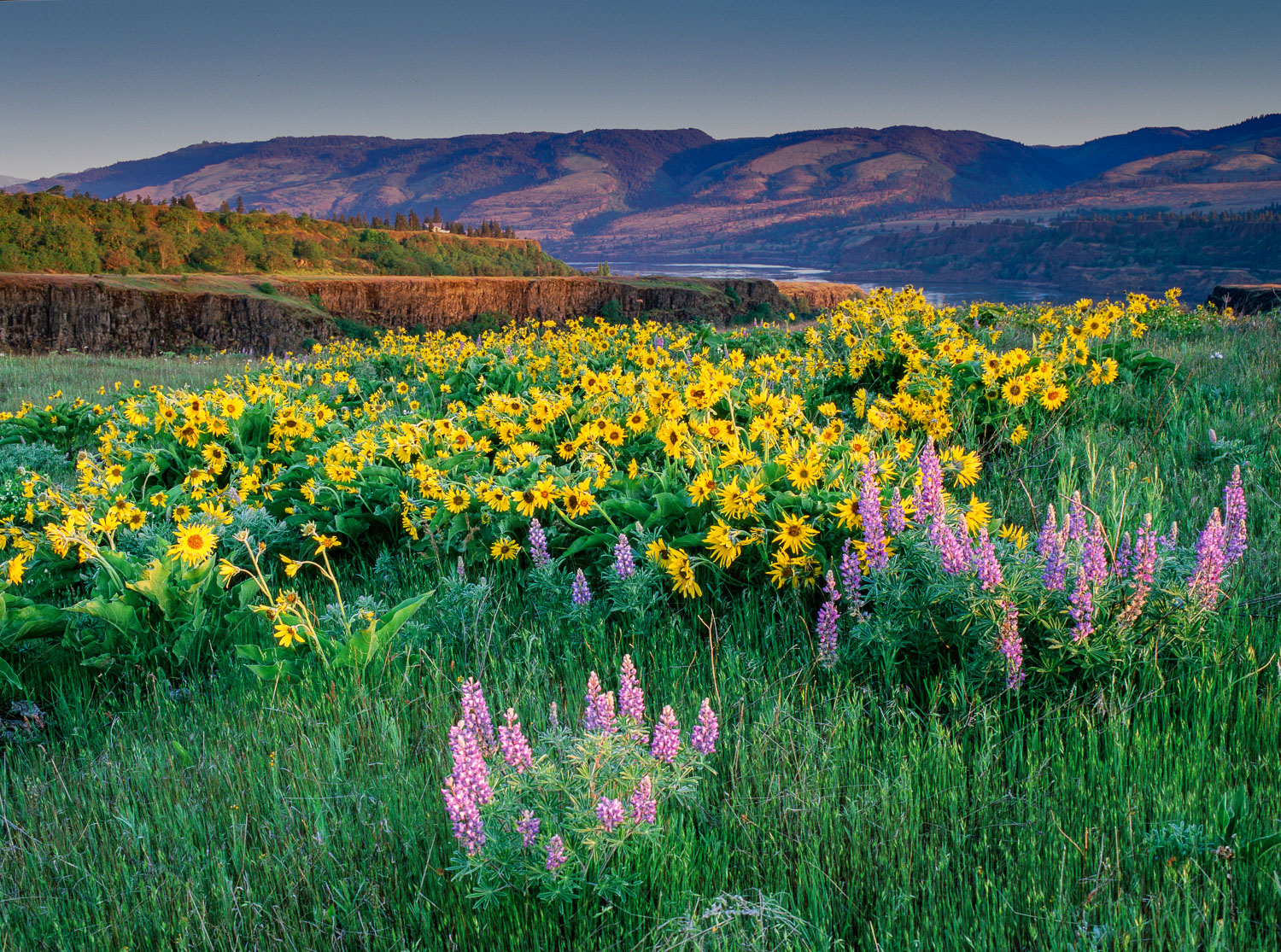 """Lupine and Balsamroot"" at Columbia River Gorge near Hood River,"