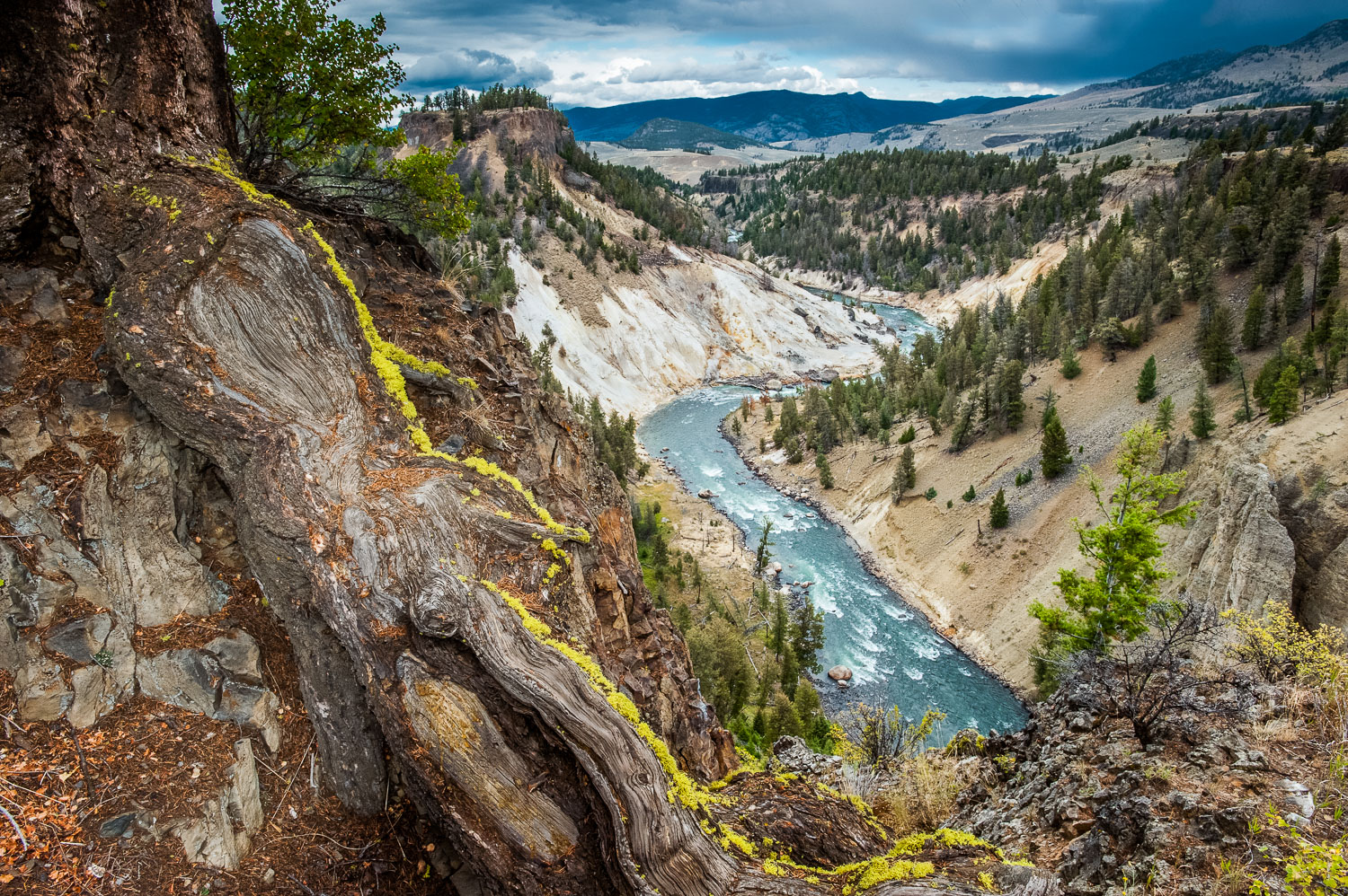 """Yellowstone Embrace"" Moss covered Roots and Yellowstone River,"