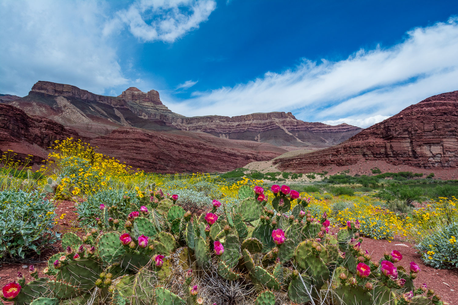 Beavertail Cactus and Brittlebush, Spring in Grand Canyon Nation