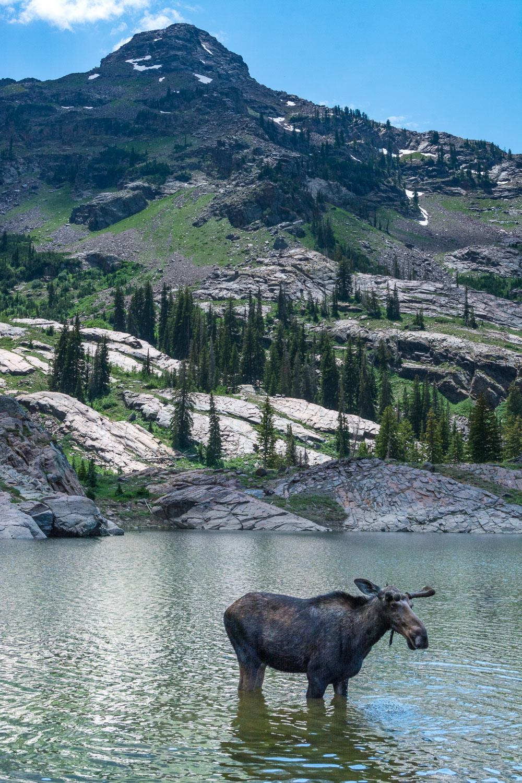 Bull Moose Wading in Lake Under Dromedary Peak, Wasatch Mountain
