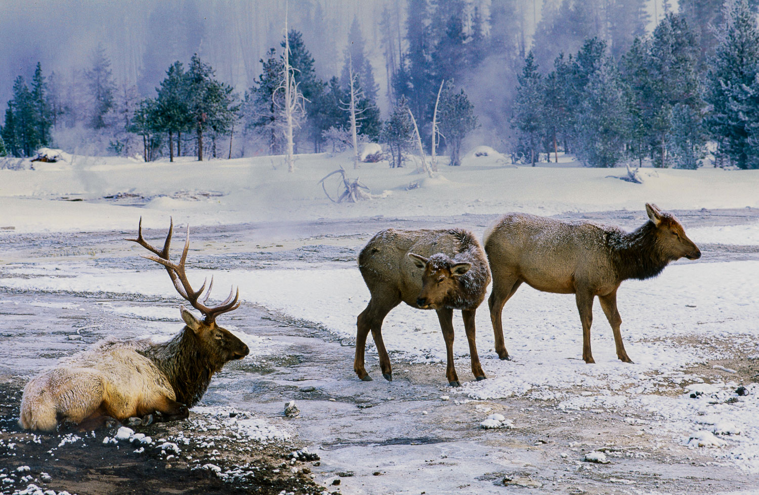 Bull Elk and Cows in  Thermal Area in Winter, Yellowstone Nation