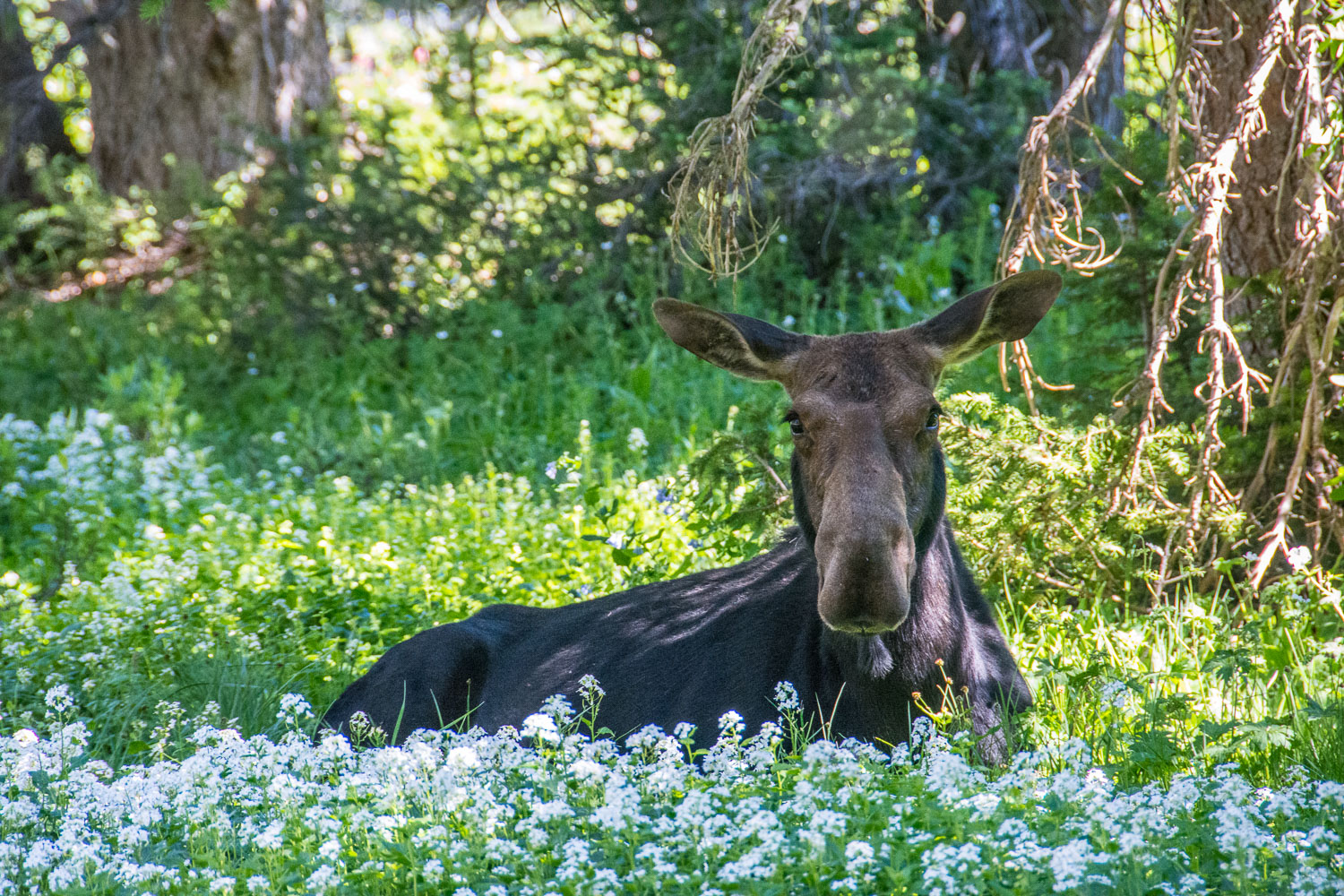Cow Moose resting in bed of white Flowers, Albion Basin, Alta, U