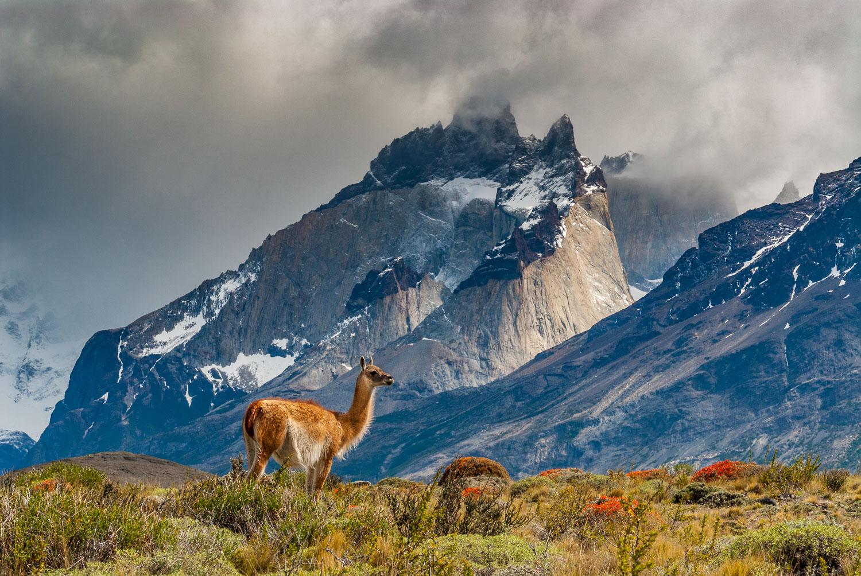 Sunlit Guanaco under the Cuernos:  Torres Del Paine National Par