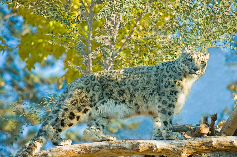 """Snow Leopard Gaze"" An intimate portrait of an endangered specie"