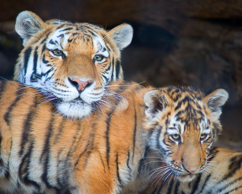 Amur(Siberian) Tiger and Cub Portrait, an intimate portrait of a