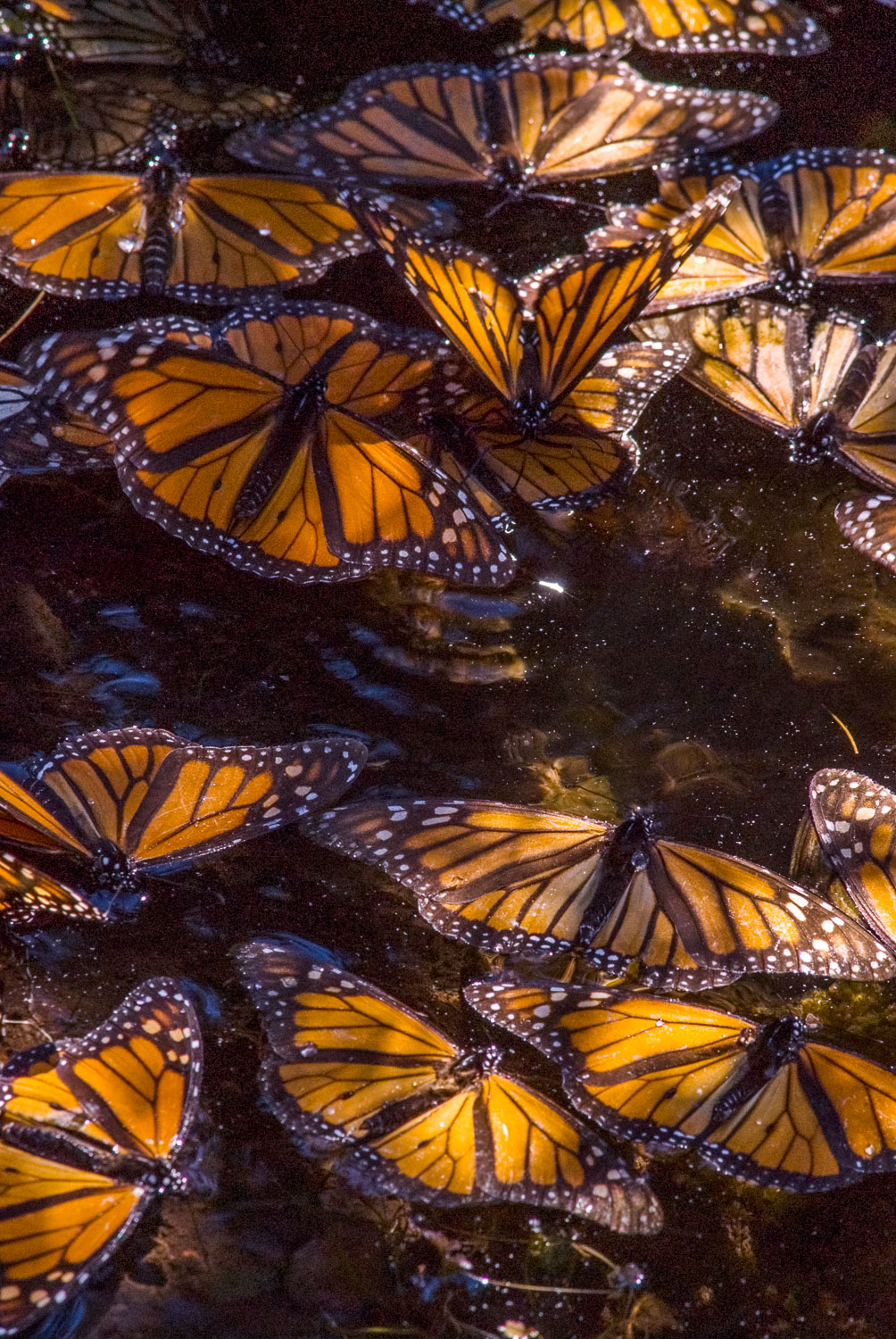 """""""Floating Monarchs"""" El Rosario Butterfly Reserve, Michoacan, Mex"""
