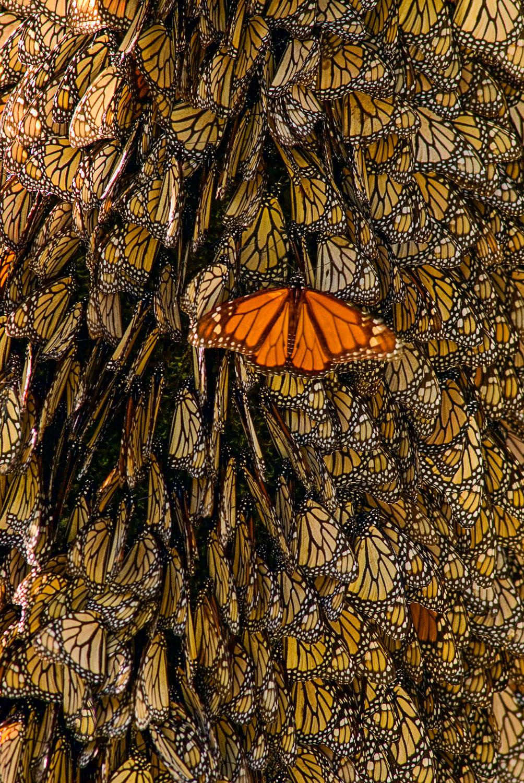 """Orange Divergence"": Monarch Butterflies on bark, El Rosario But"