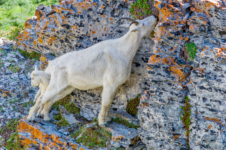 """Motherly Love"", Mountain Goat Nanny and Kid, Mount Timpanogos W"