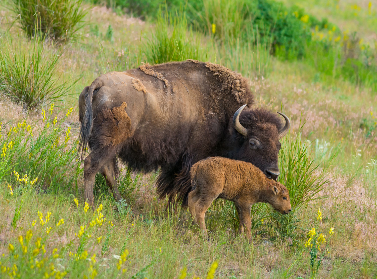 Mother and young Bison grazing at National Bison Range,near Missoula and Moise, Montana maintained by U.S Fish and Wildlife Service, , National Wildlife Refuge, Native Palouse Prairie Grassland, Dalmation Toadflax is invasive weed