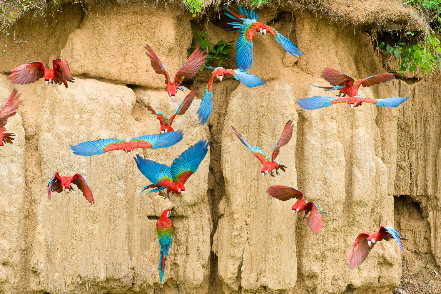 Red and Green Macaws in flight at Clay Lick, Manu National Park,