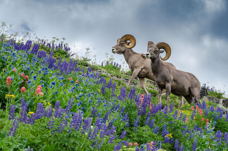 Big Horn Rams and peak wildflowers on Mount Timpanogos, Utah