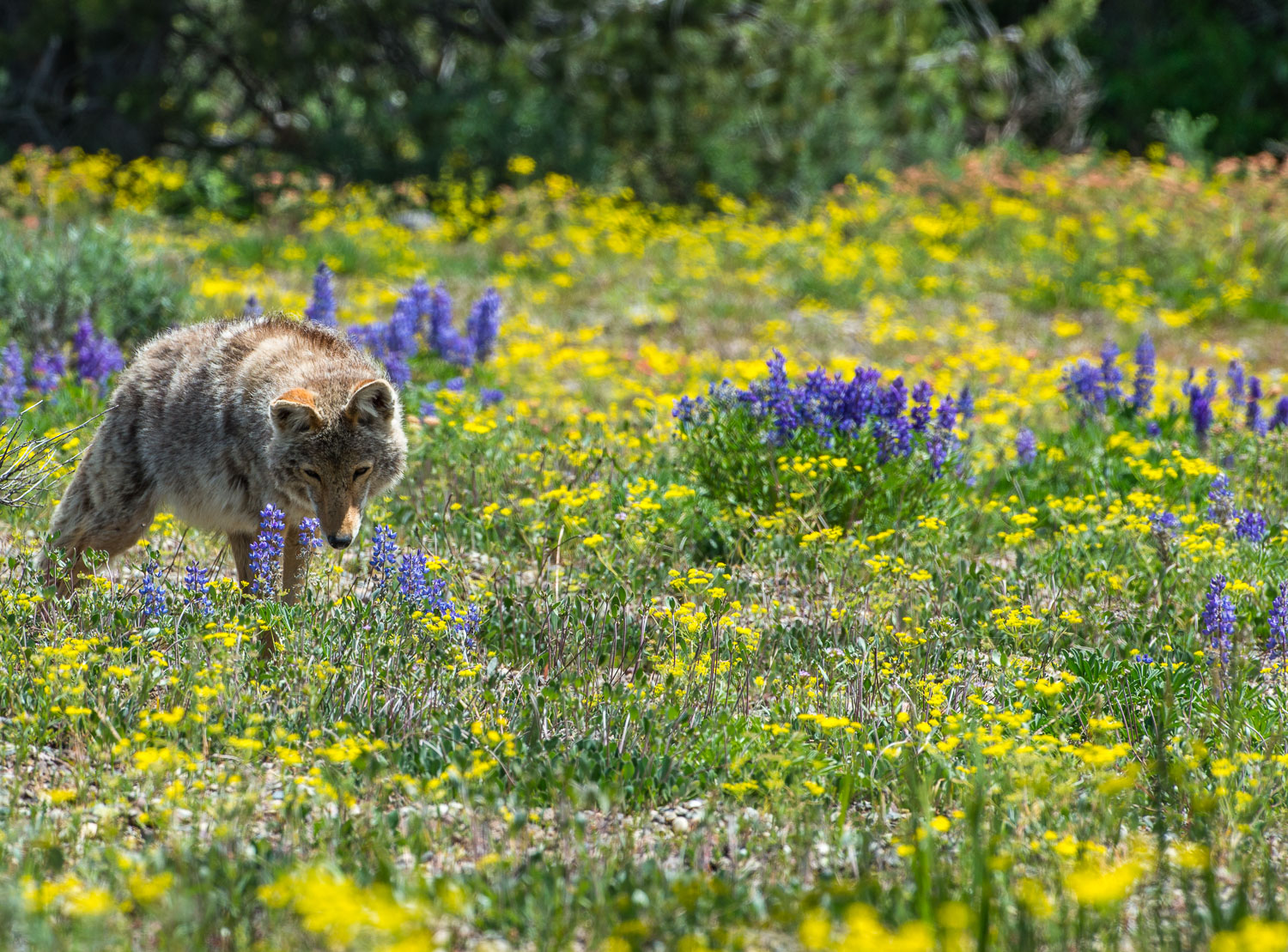 Coyote Hunting in Wildflower Meadow, Grand Teton National Park,