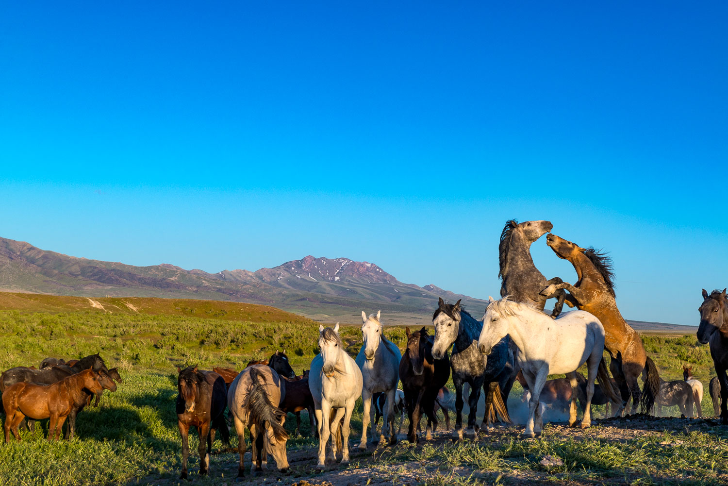 Wild Horses fighting for dominance over the Herd. Pony Express
