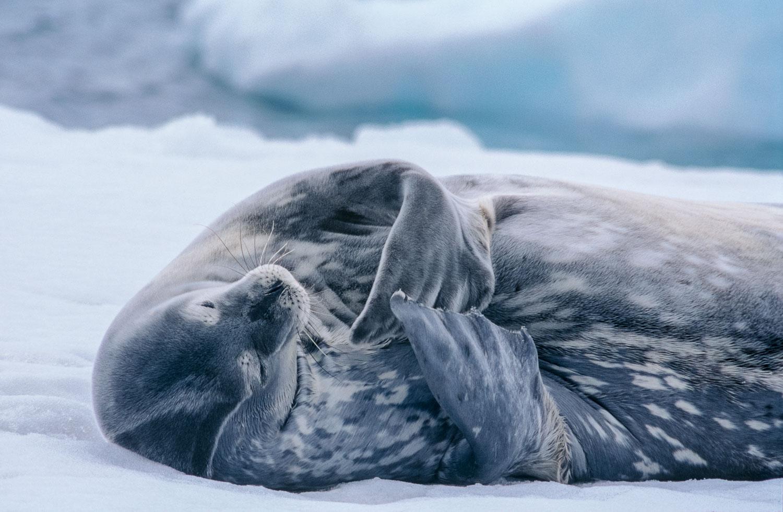 """"""" Seal Meditation"""", Resting Weddell seal, Antarctic Peninsula."""