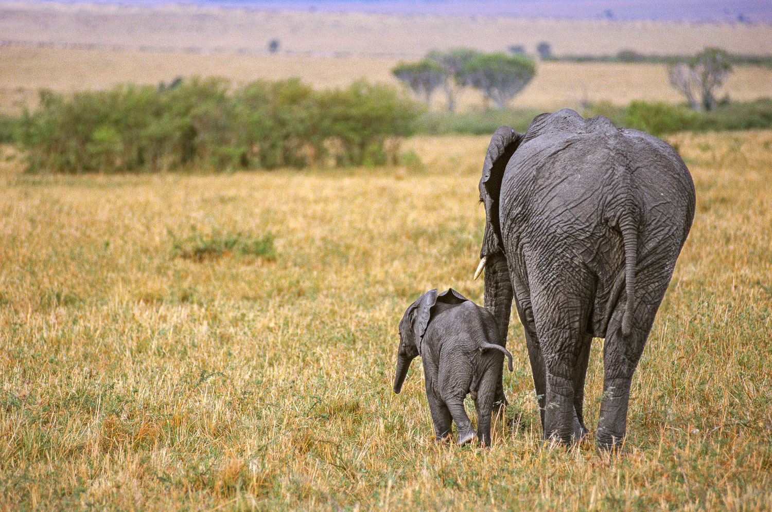 Mother and Baby Elephant in search of better grazing, Masai Mara