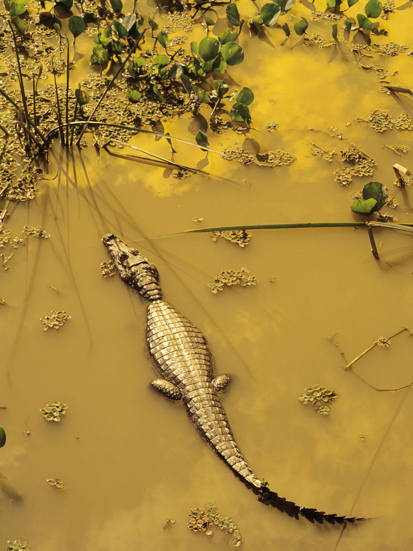 Caiman rests in Golden Light, Pantanal, Brazil.