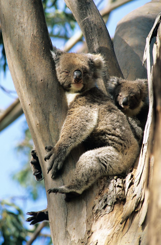 Mother and Curious Baby Koala on Blue Gum Eucalyptus Tree, Kang