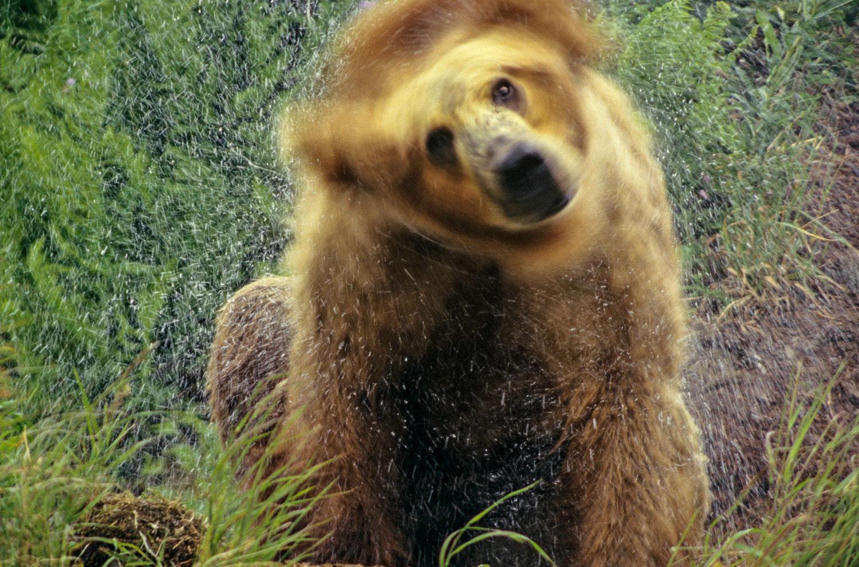 """""""Whimsical Intimacy"""" Brown Bear Shaking off Water, Kodiak, Alask"""