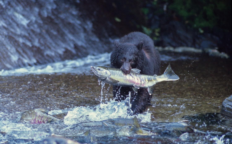 Black Bear (Ursus americanus) holds a huge Chum Salmon, Tongass