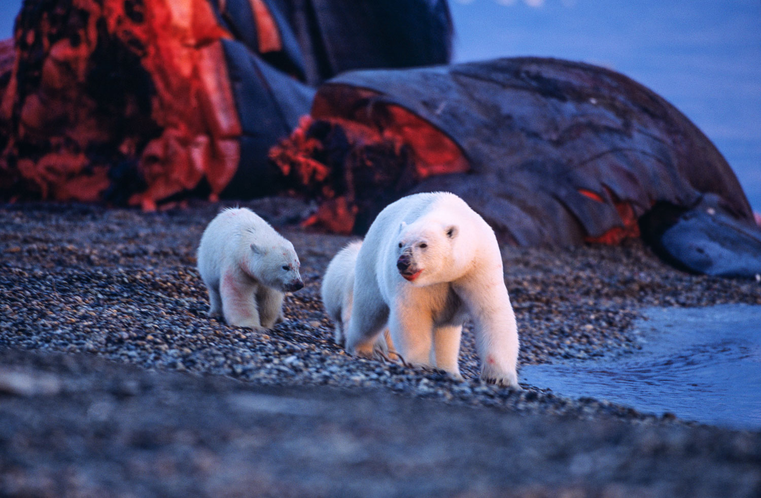 Fulfilled Family of Polar Bears has just fed on Bowhead Whale ,