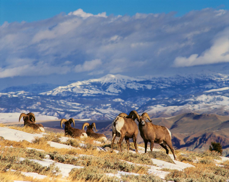 Competing  Bighorn rams  on Whiskey Mountain, Wyoming