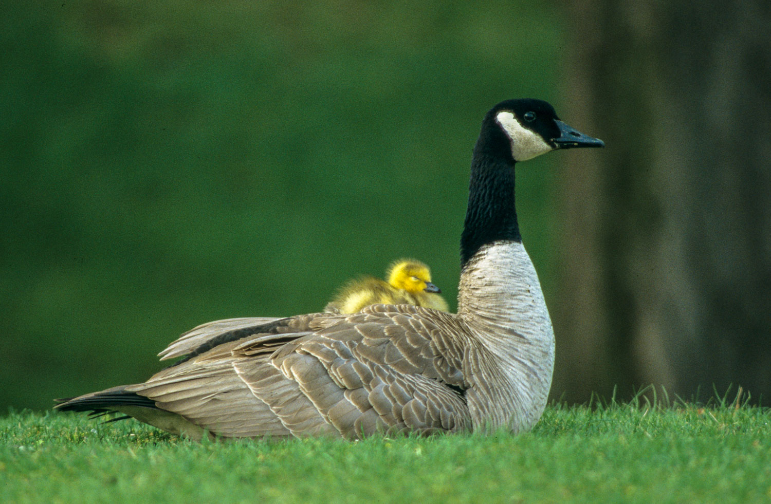 Newborn Gosling on Mother  Goose's back : Protection and Parenti