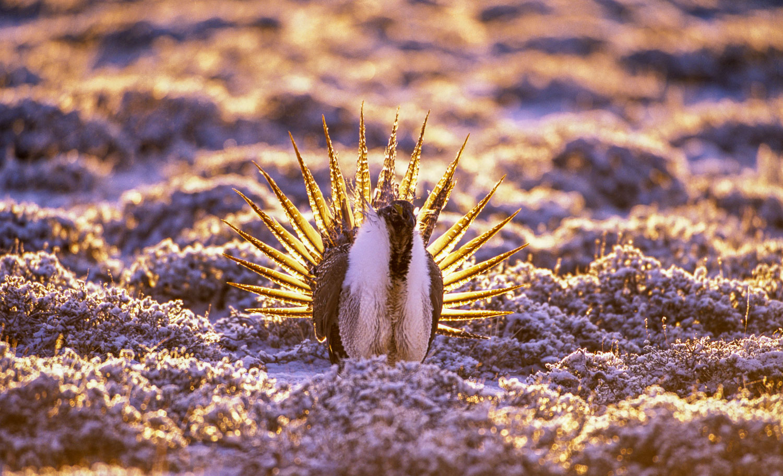 Backlit Male Sage Grouse strutting at lek at dawn, Parker Mounta