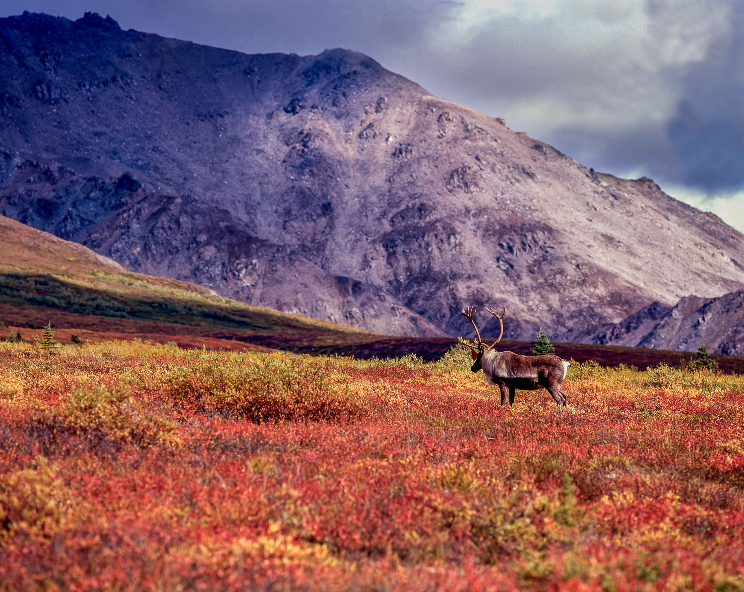 """""""Tundra Wanderer"""": Barren Ground Caribou on colorful  fall tundr"""