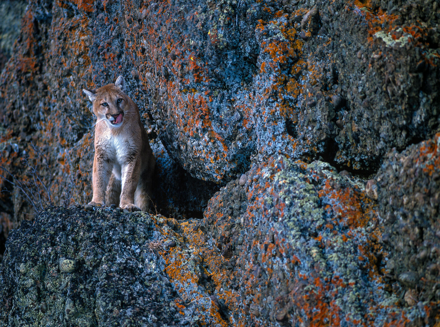 Mountain Lion standing on cliff, Montana