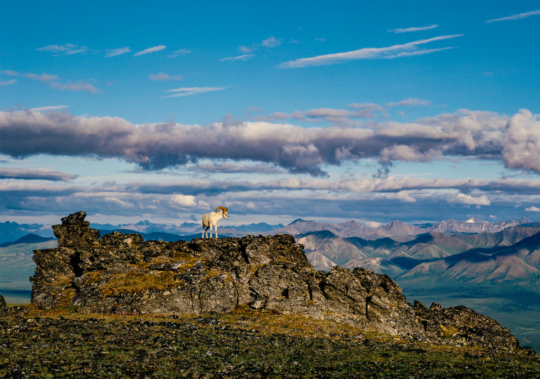 Solo Dall Ram on Ridge, Denali National Park, Alaska