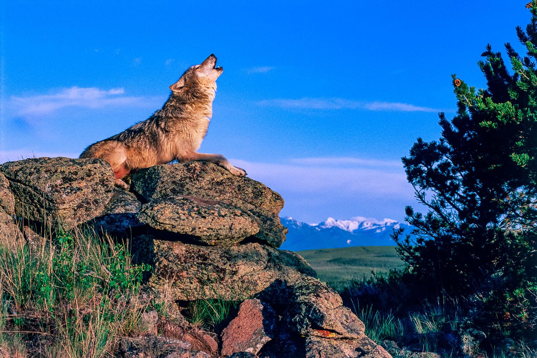 """Lupus Howl"": Solo Wolf howls on  Ridge, Montana"