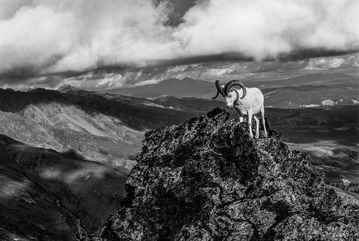 """""""Finding Higher Ground"""" Dall sheep (Ovis dalli) on rocky peak, D"""