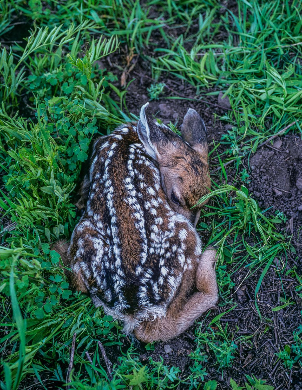 Mule Deer Fawn Hidden in the Grass, Wasatch mountains, Utah