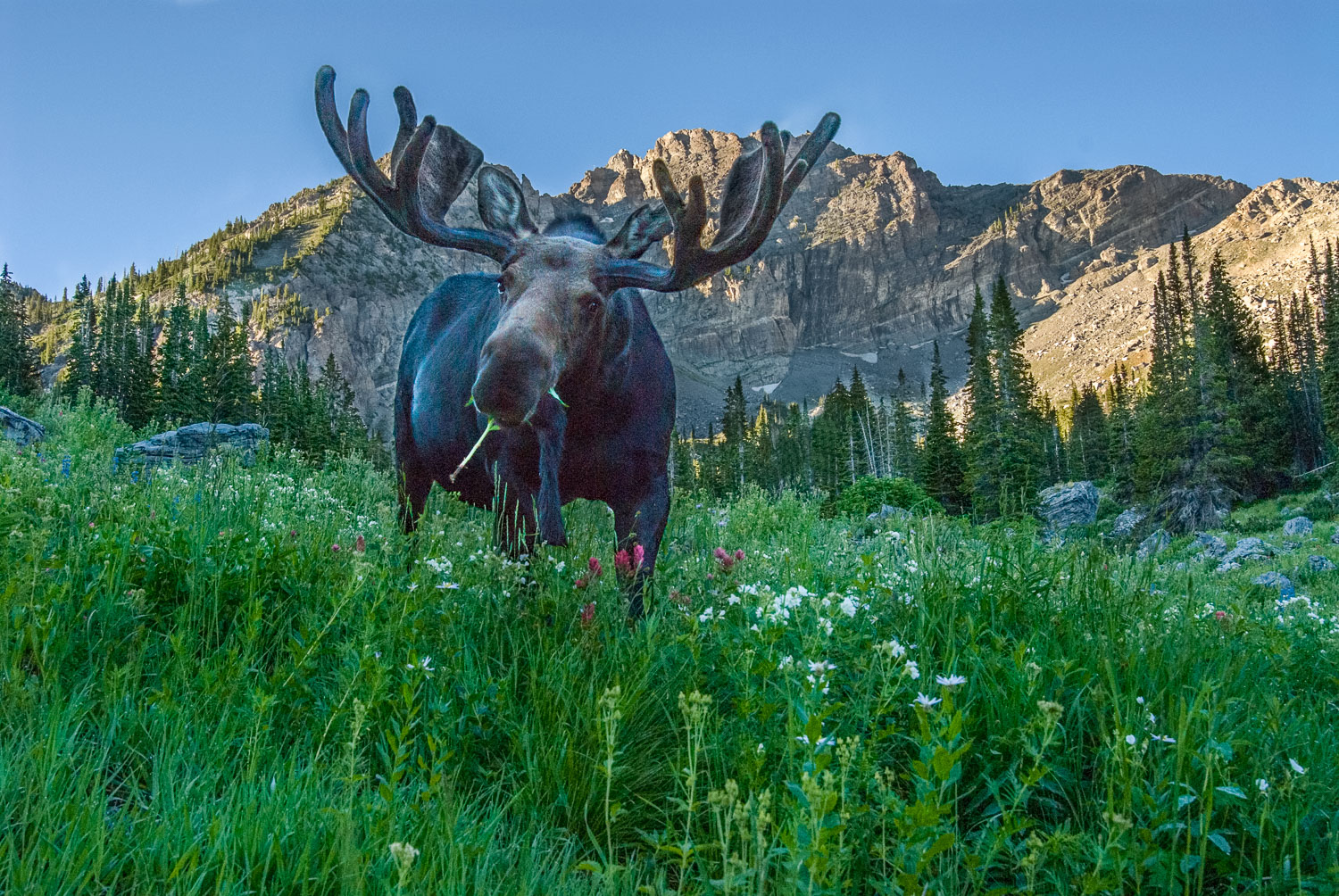 Grazing Bull Moose Eye to Eye with Photographer, Alta, Wasatch M