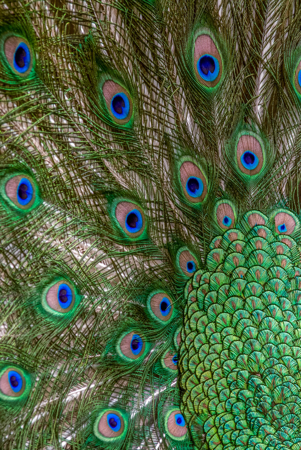 """""""Peacock Party,"""" Indian Peacock displaying its plumage."""