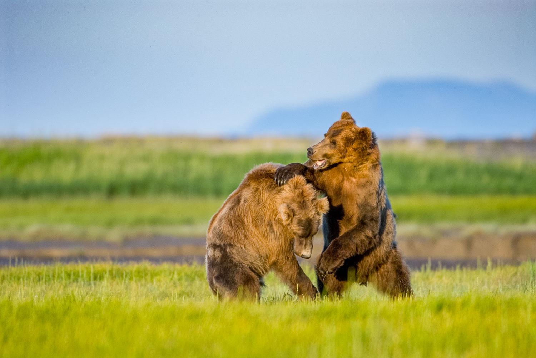 Alaskan Brown Bears Play Fighting, Katmai National Park, Alaska