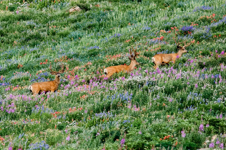 Three Mule Deer Bucks in Albion Basin with peak wildflowers, Alt