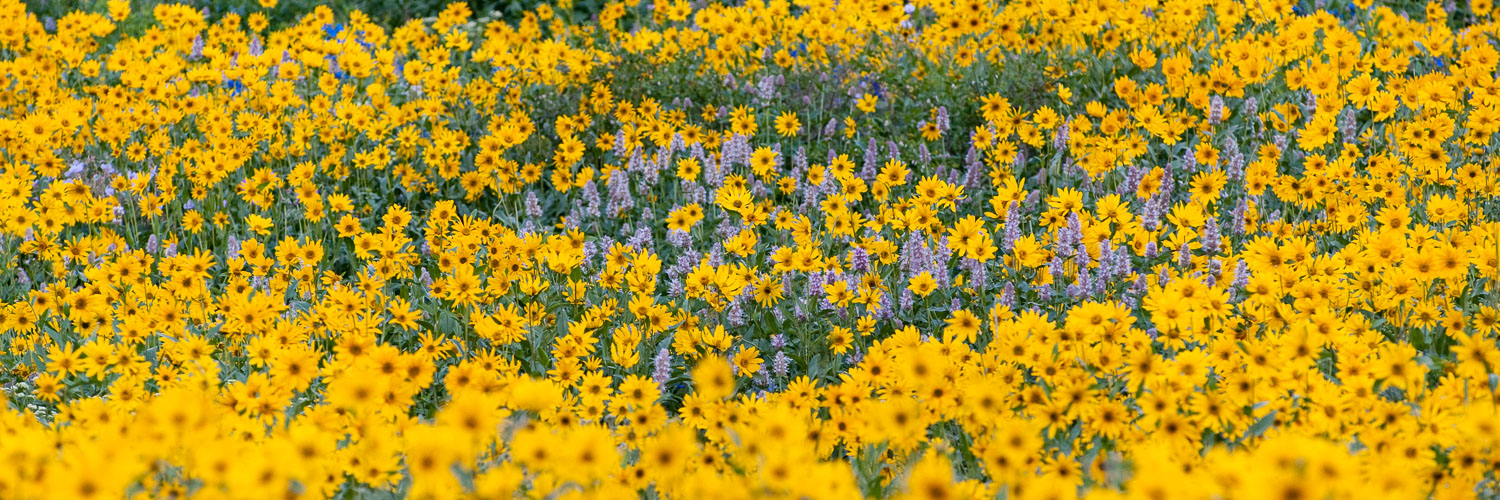 """Field of Gold"", Purple Horse Mint Surrounded by Yellow Arnica ,"