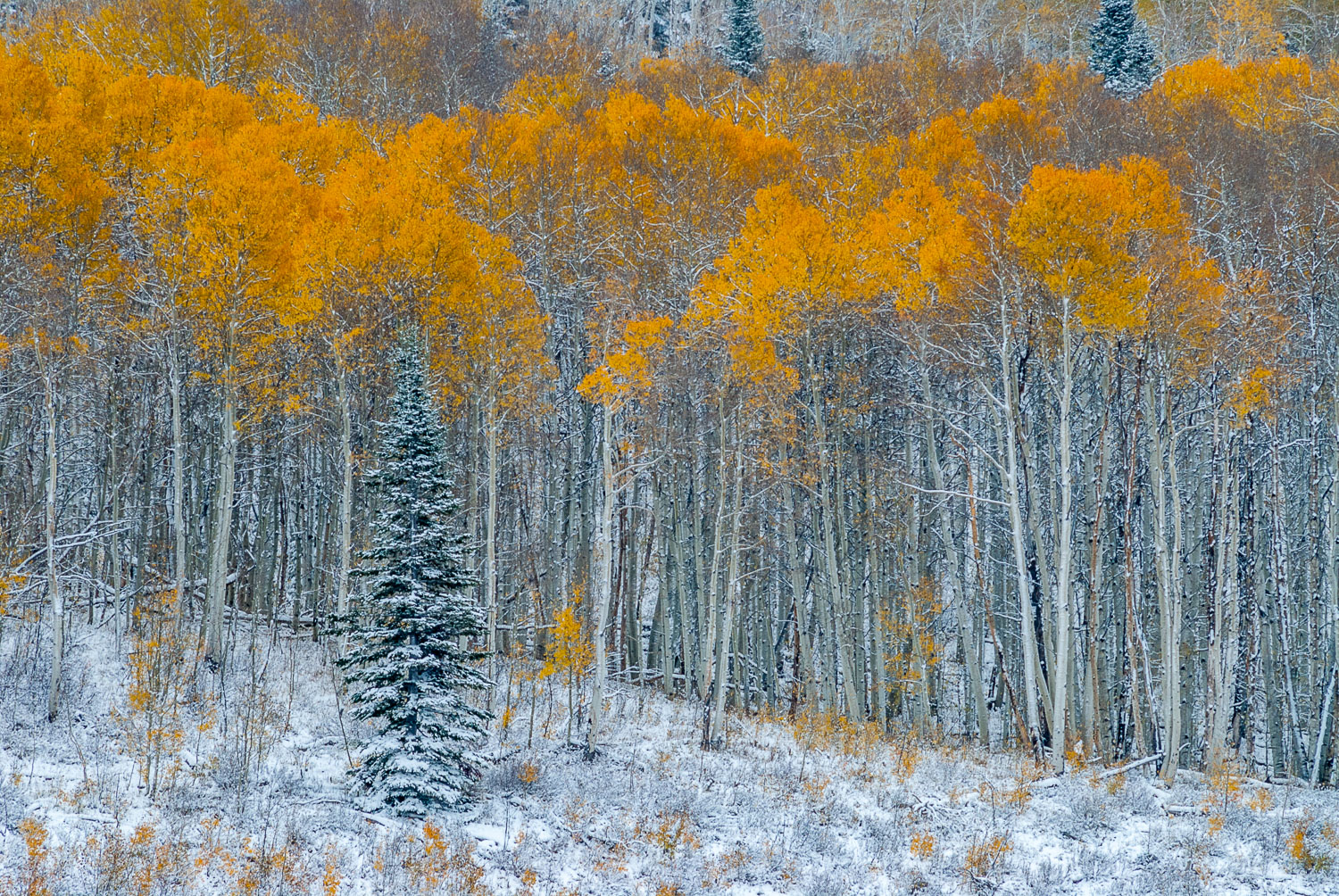 """Final Autum Flame"", Evergreen and Fall Aspens , Aspen Alley, Wy"
