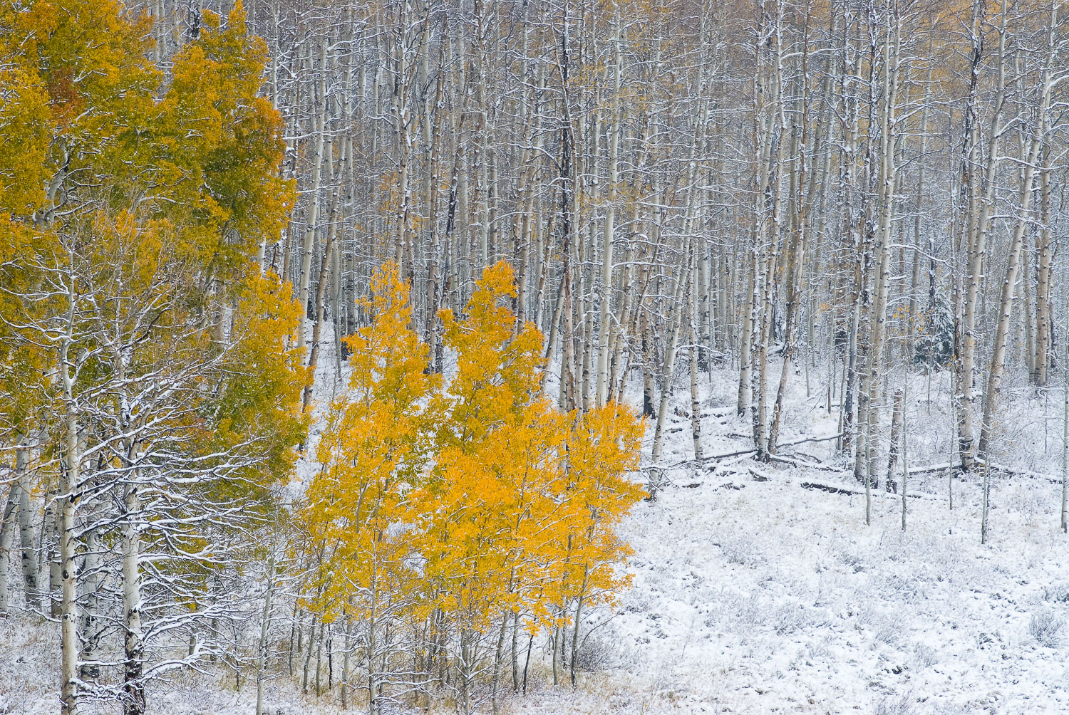 """Autumn Demise"" Fall Snowstorm and Yellow Aspens, Medicine Bow M"