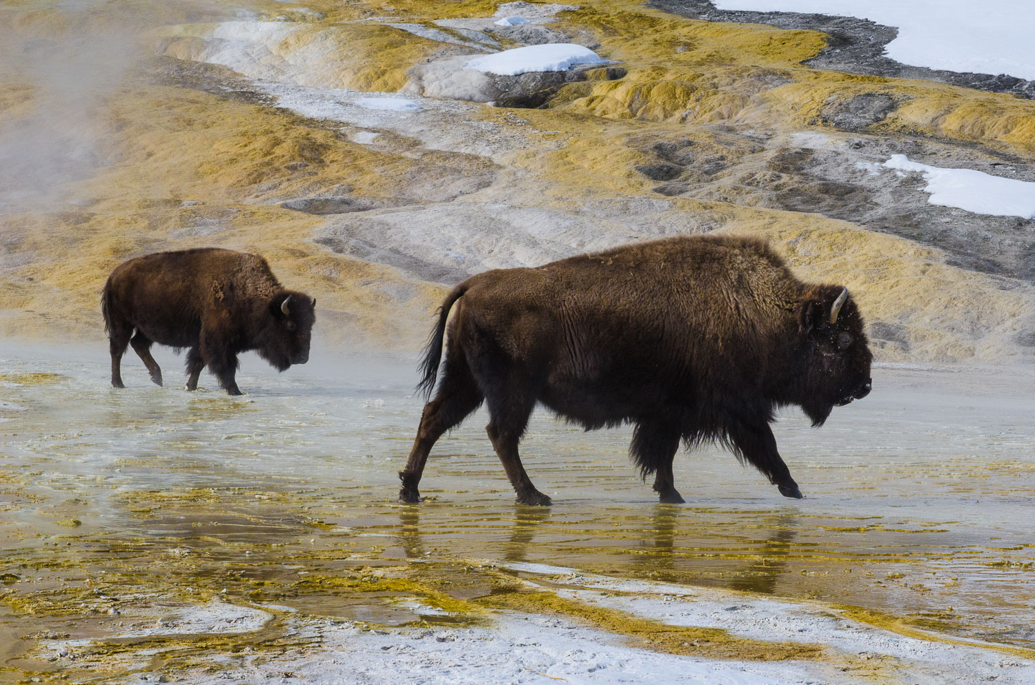 """Double Bison"", Two Buffalo traverse Mammoth Hot Springs, Yellow"