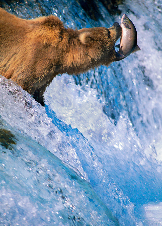 """""""Not Quite Bite Size"""" , Alaskan Brown Bear fishing for Sockeye S"""