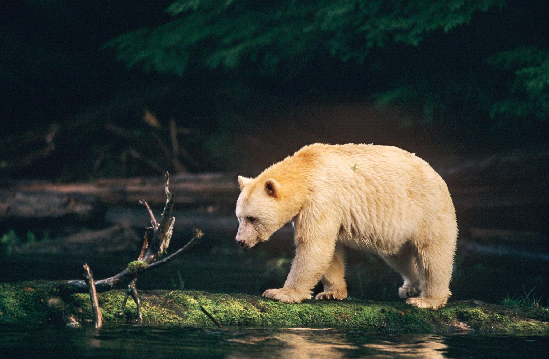 """Spirit Bear"", Kermode Bear crossing stream. Princess Royale Isl"