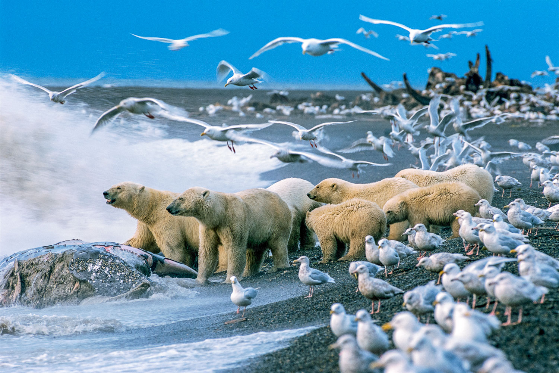 """Arctic Feeding Frenzy"" , Group of Polar Bears feeding on Gray W"