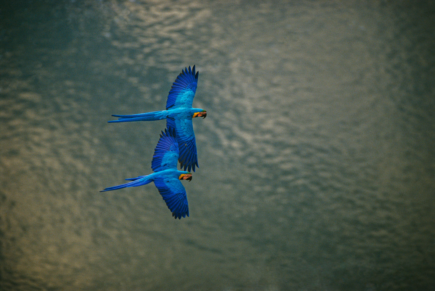 """Bird's Eye View"", Blue and Yellow Macaws flying over Tambopata"