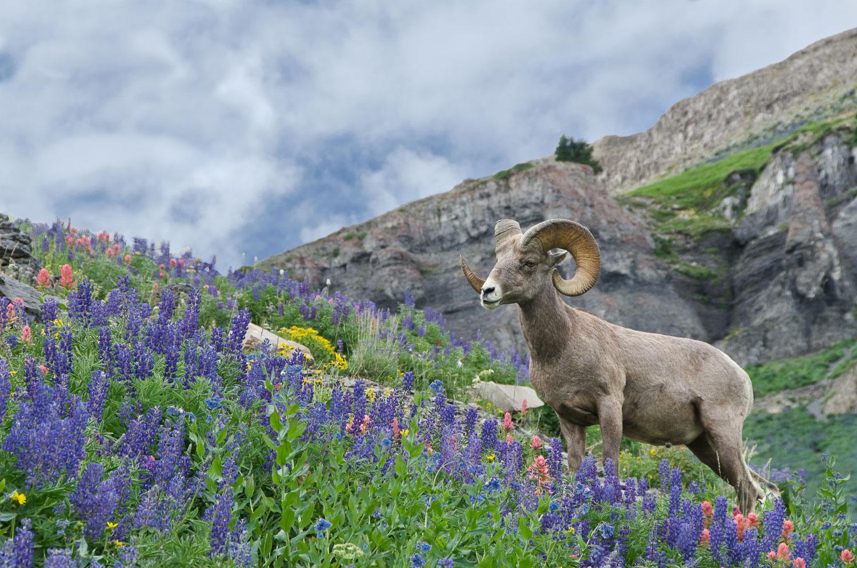 """""""Ram Portrait in Lupine"""", Big Horn Ram in Field of Lupine, Mount"""