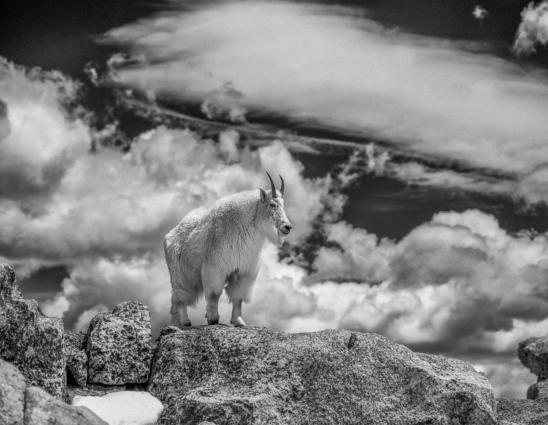 """King Billie Monochrome"" Mountain Goat on Rocky Crag, Colorado"