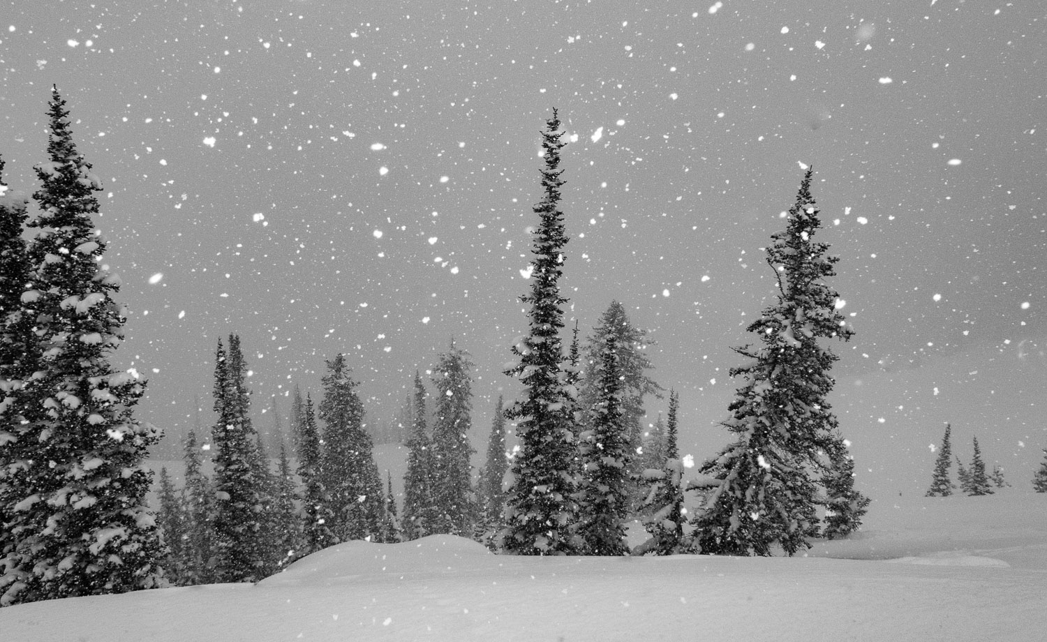 Black and White photograph of Snowflakes and Evergreen Trees dur